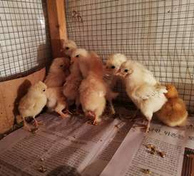 White Polish and Golden Buff Chicks for sale