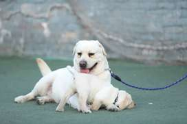 Imported Pedigree young Male only stud colour white contact me