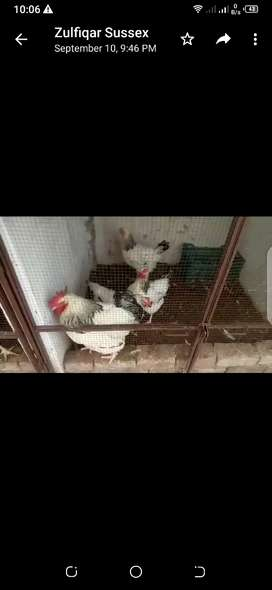 100% pure Australorp and light sussex heritage chicks  available