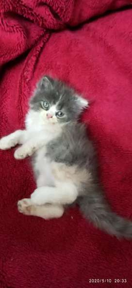 Pure Persian Calico Kitten