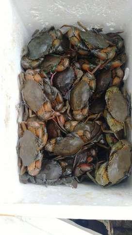 Kepiting Bakau Beku ( 1 kg isi 3 ekor )