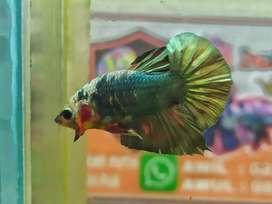 Ikan cupang Cooper Gold