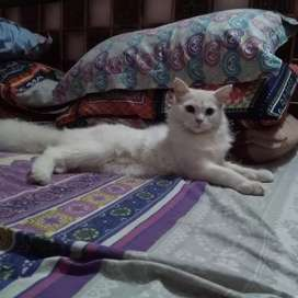Persion double coded white cat (female)