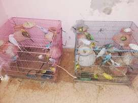 45 plus breeding budgies with two iron cages and accessories