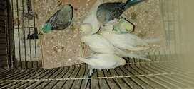 Red ayes albino budgies
