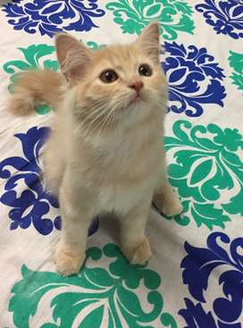 I want to sell my Persian kitten