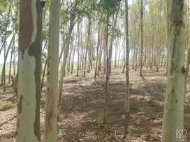 Sufaida Tree for Sale