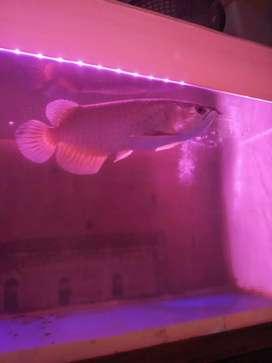 Jual ikan arwana gren pino 1.1 aja insaallahutala berkah ukuran 40cm