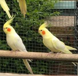 Cockatiel Common White (Lutino) Pair & Extra Male for sale