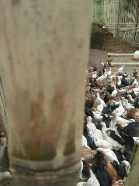 Ayam kampung joper