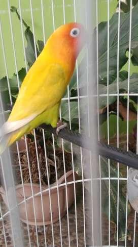 Lovebird jantan bekas lomba