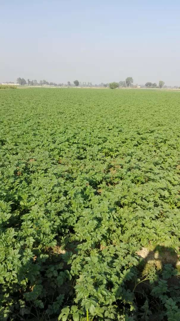 Agriculture land for sale Kasur