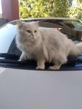Mr Cat male