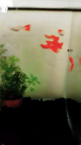 Ikan guppy Albino Full Red big dorsal pedes