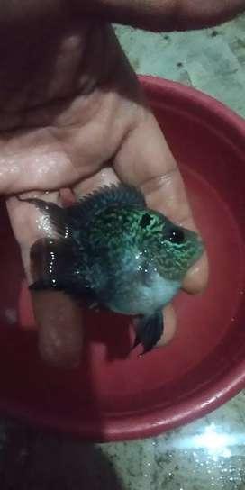 Louhan ikan Bonsai