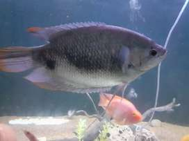 Red tail gaint gaurami for sale.
