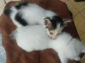 Kitten Persia Medium 2 Bulan