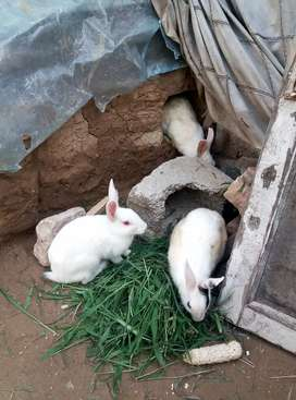 Adult Rabbit Pairs For Sale