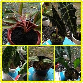 Koleksi 5 tanaman