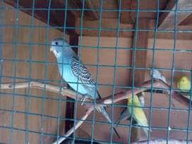 Burung Parkit (Remaja, Dewasa, Jodohan, Lolohan)