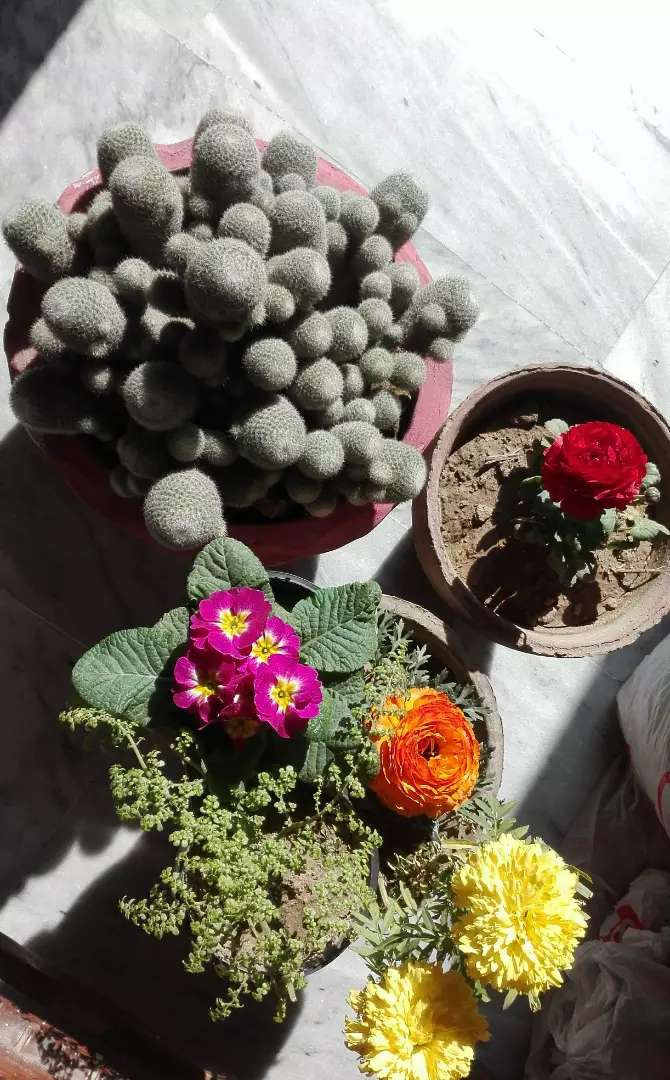 Cactus mother plant for sale in Wah Rawalpindi Islamabad