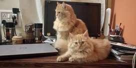 Kitten - Two persion female