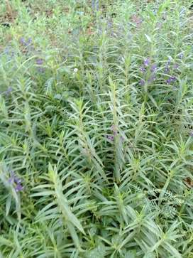 Jual pohon obat nyamuk. Lavender