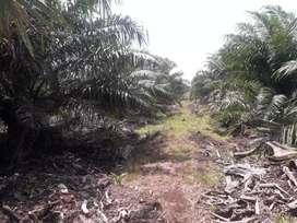 Kebun sawit#Abi holidy# 750 Ha, SKT, Tanah putih rohil