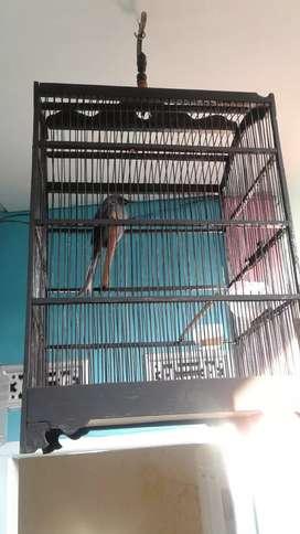 Burung Sri Gunting Abu-abu