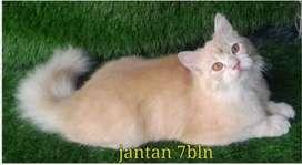 Kucing persia jantan 7 bulan