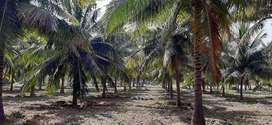 Coconut farm/ Agriland/ Agricultural/ Farm land/ Farm house