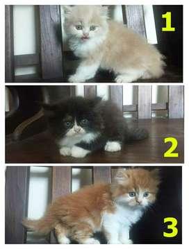 Jual Kucing Kitten Persia medium
