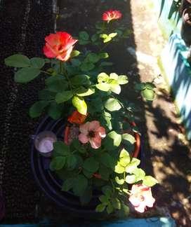 Tanaman Hias Bunga Mawar kecil mix orange kuning putih + pot u/25