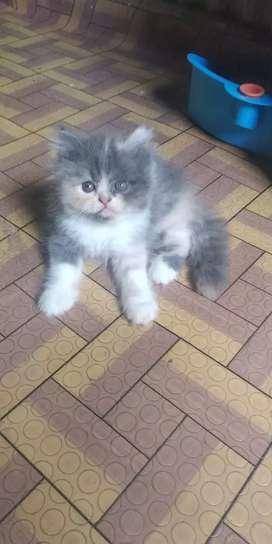 Kucing Persia flatnose betina