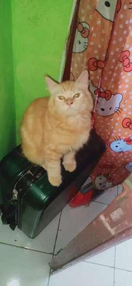 Kucing Persia anggora 4 bulan