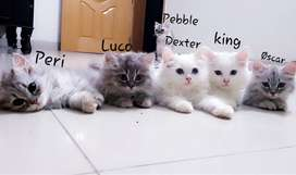 Double Coated Persian Kittens and A Cat