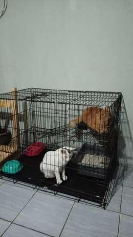 Kucing Persia Medium + Kandang