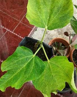bibit buah tin (bibit tanaman)