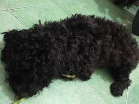 Poodle asli  jantan umur 1thunan