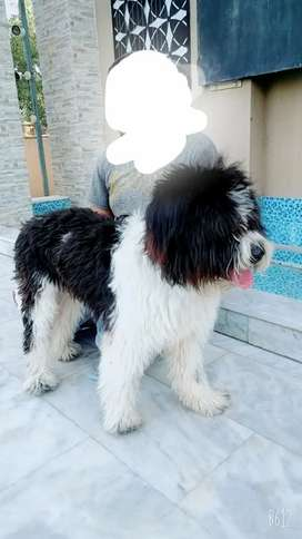 Top quality and cute old English sheepdog available for sale