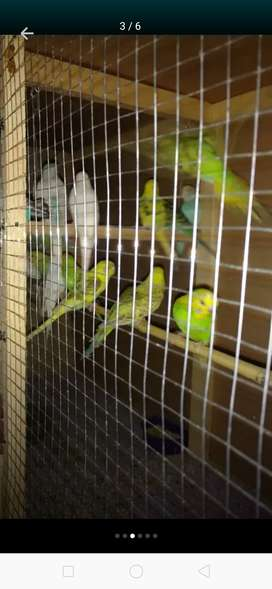Home breeder budgies pair just in 600rs