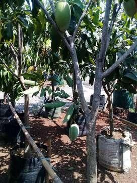 pohon buah buahan okulasi tabulapot