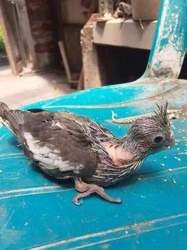 Burung falk/parkit australia lolohan