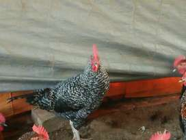 Hen's for sale