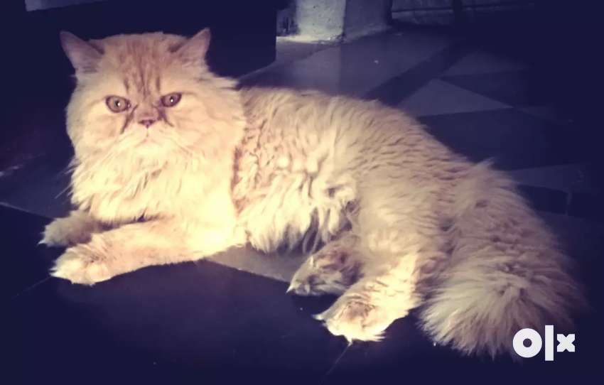 Punched face male persian cat. 0