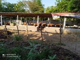 tanah dan kandang sapi luas bangunan  kokoh