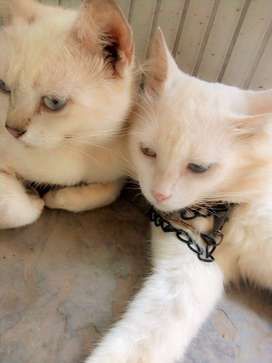 beautiful cats for cat lovers in cheap prices