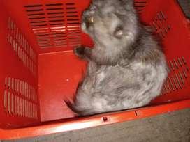 Persian cat male