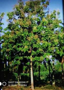 1.12 acres teak trees
