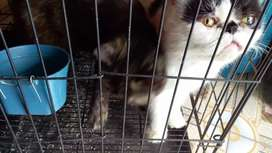 Kucing persia oxsotik